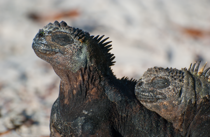 When life kicks you in the shorts – be the iguana
